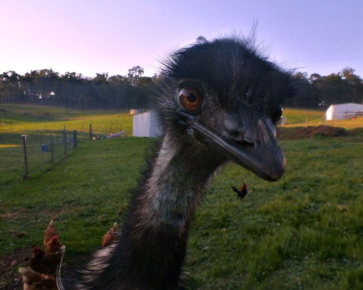 Emu Bob at Glenlynn