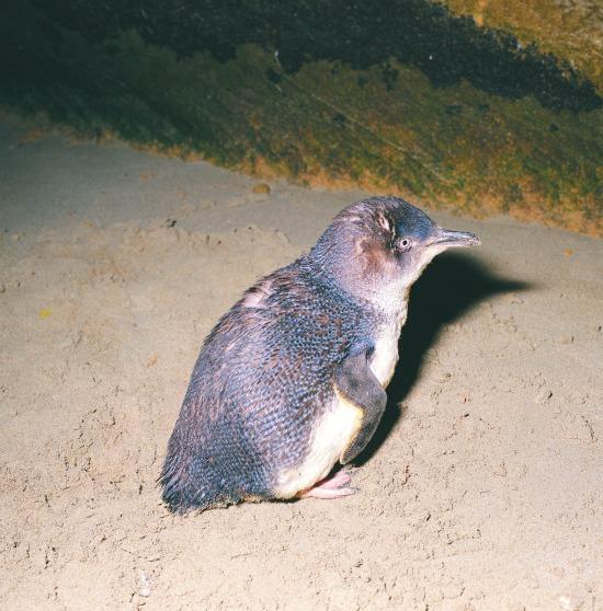 Penguin on Penguin Island