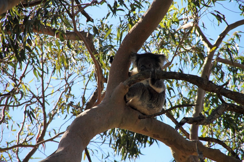 Yanchep National Park koalas
