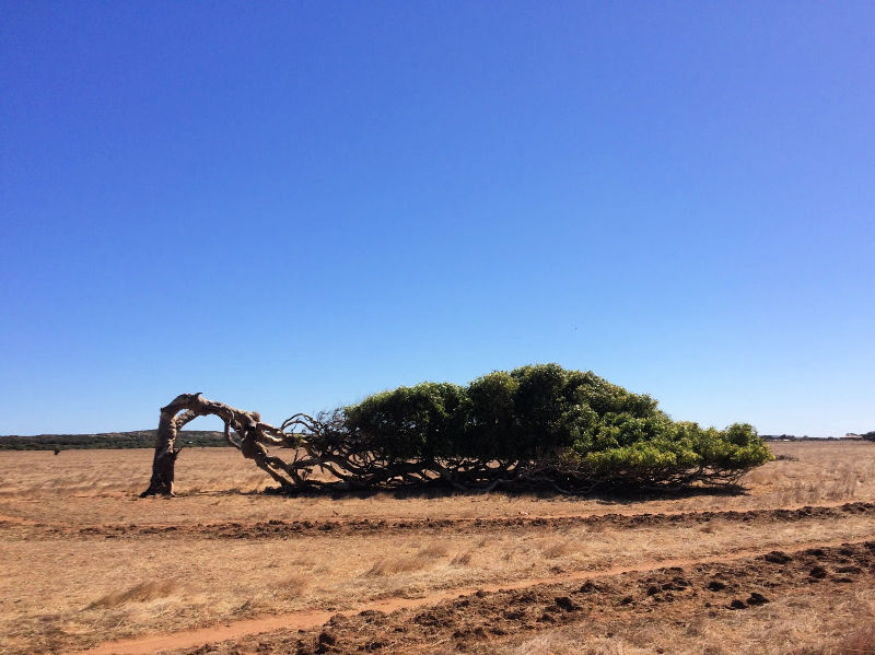 The leaning trees of Geraldton