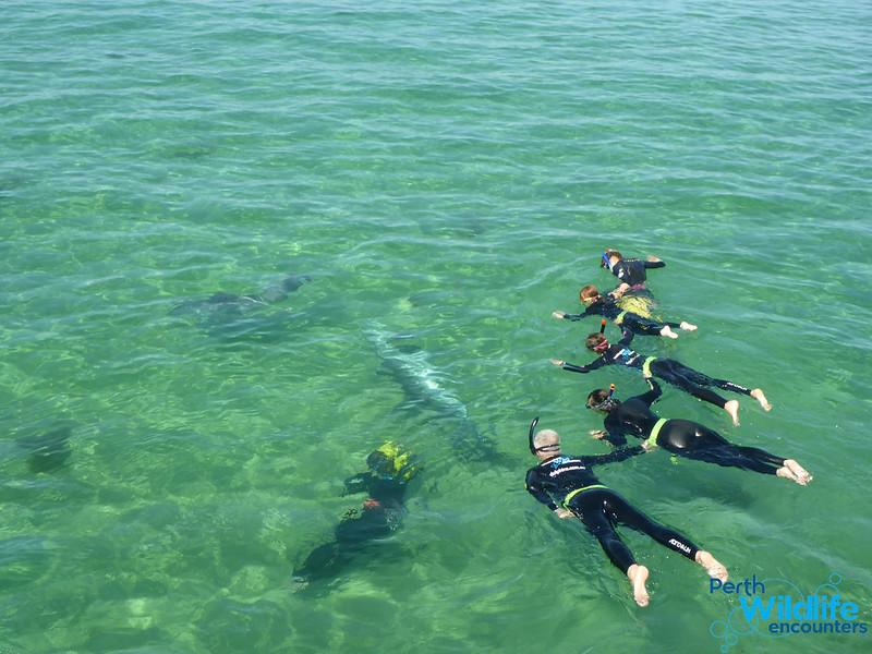 dolphin swim Western Australia